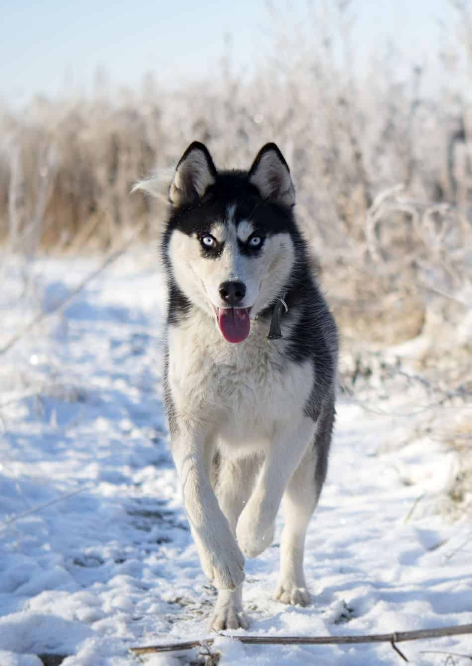 Can Huskies Stay Outside in the Cold?
