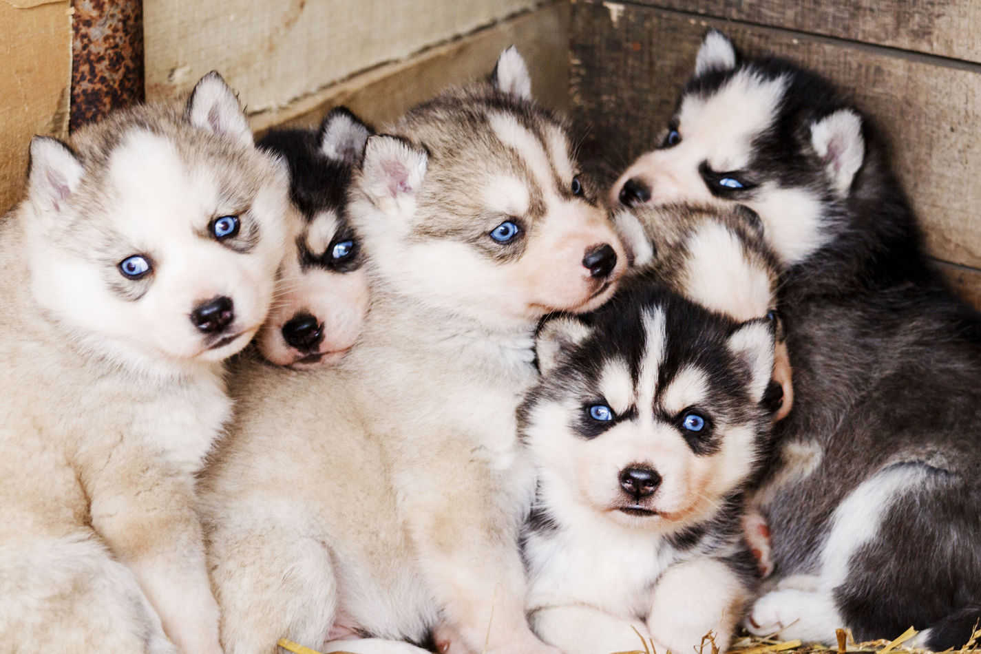 Are Husky Puppies Good With Kids