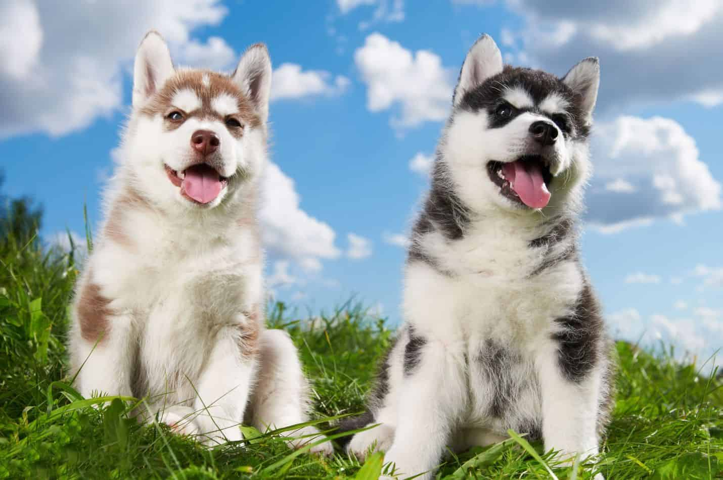 Choosing a Husky Mix Breed: Which is Best for Your Home?