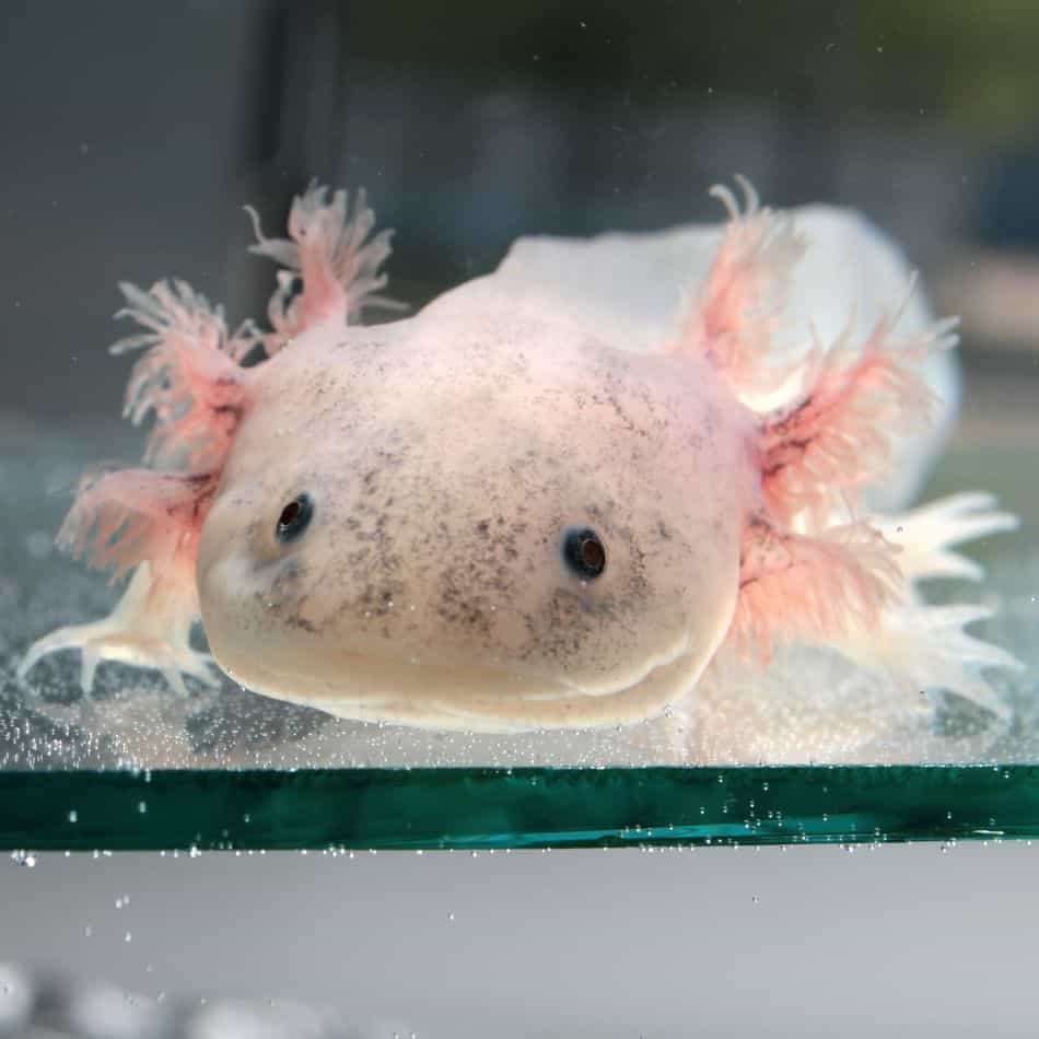 Axolotl Color Guide: How to Pick the Right Color Axolotl for You!