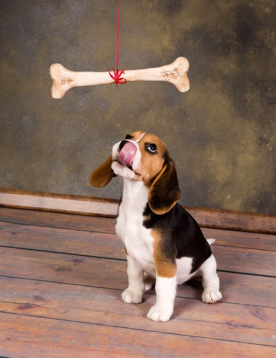 Can Beagles Chew on Bones?