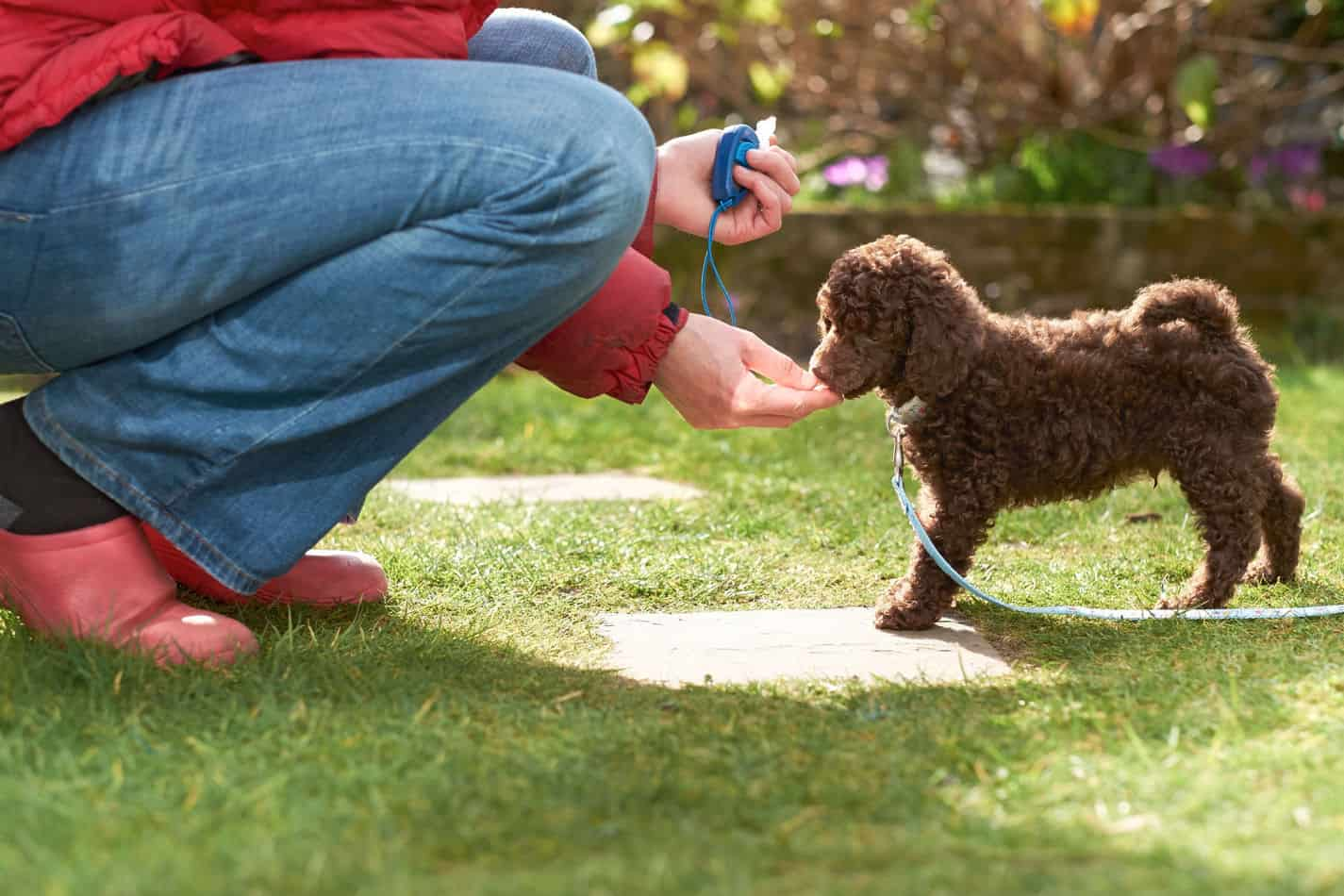 Are Poodles Easy to Train?
