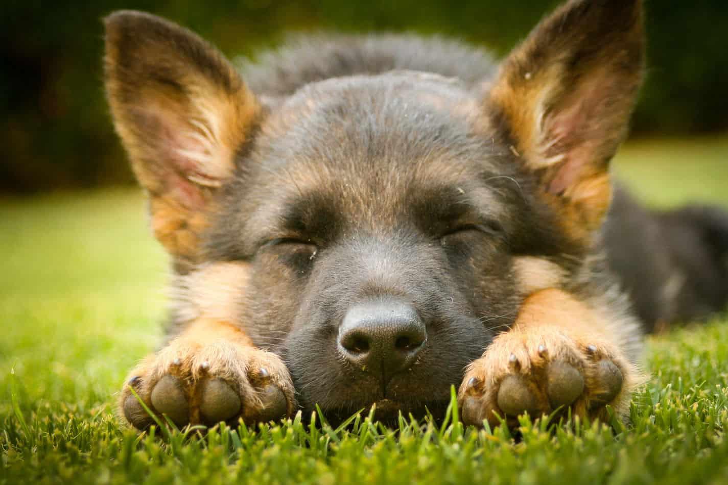 How Much Sleep Should a German Shepherd Have?
