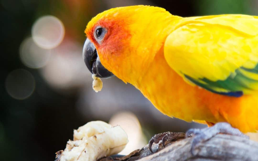 Can Parakeets Eat Bananas?
