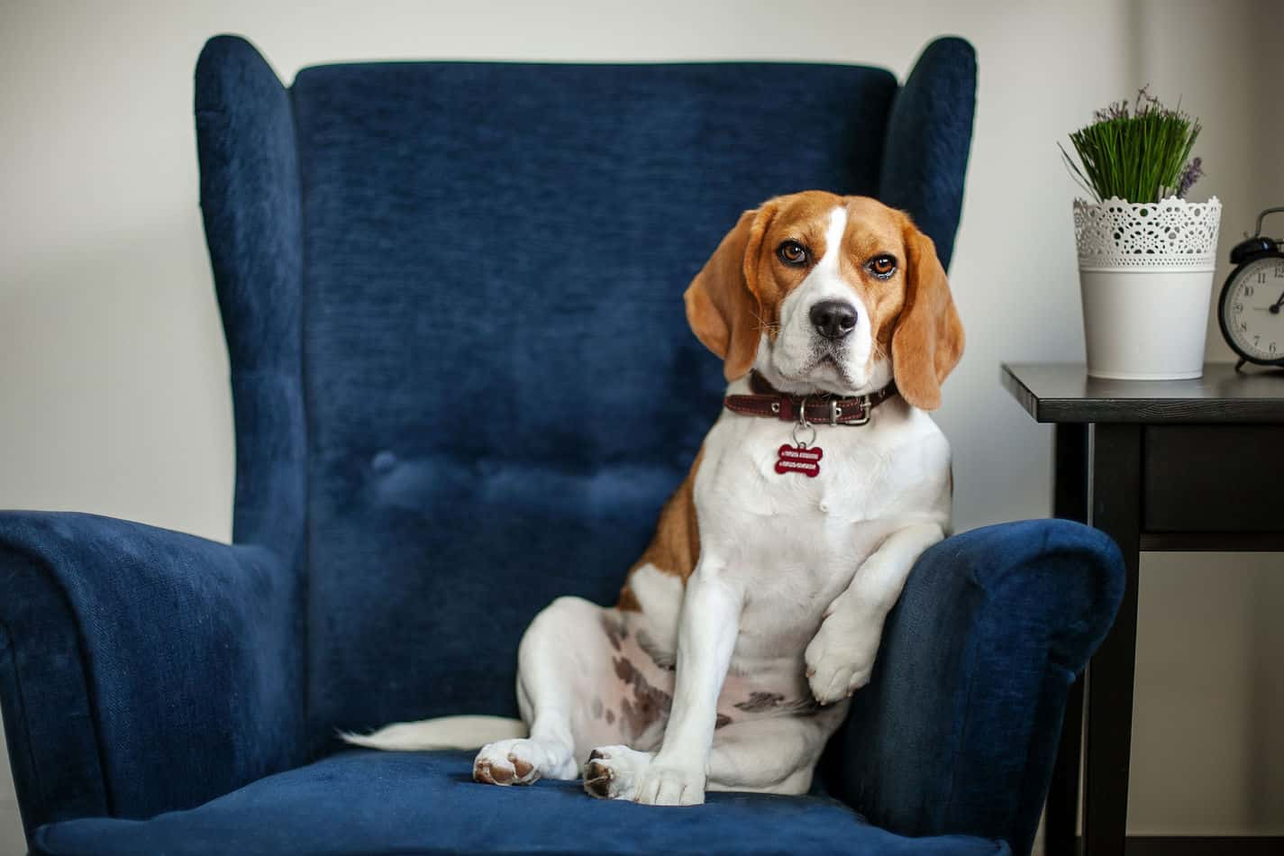 Beagles as Pets: Cost, Life Expectancy, and Temperament