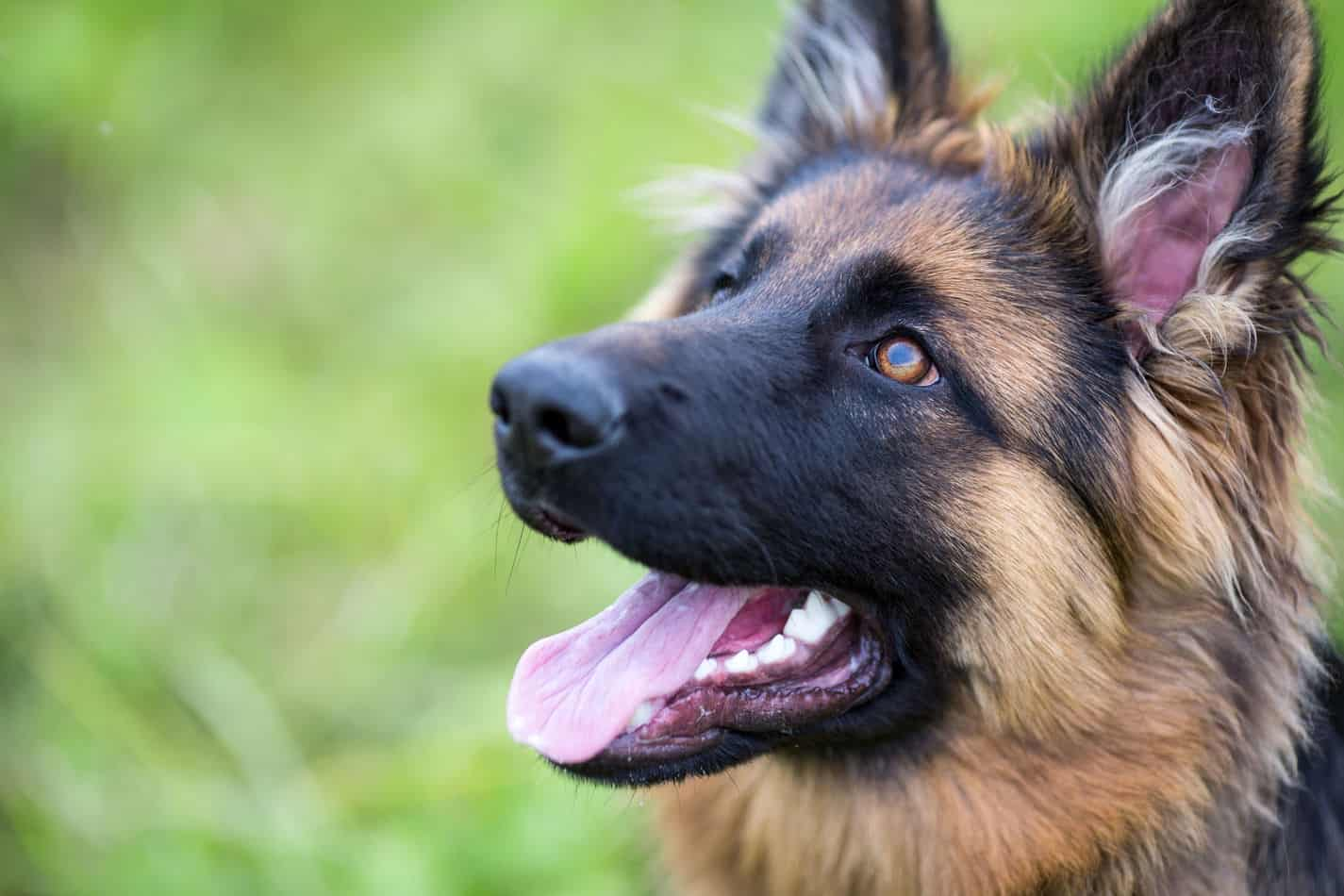 Are German Shepherds Good with Kids? A Guide for Parents