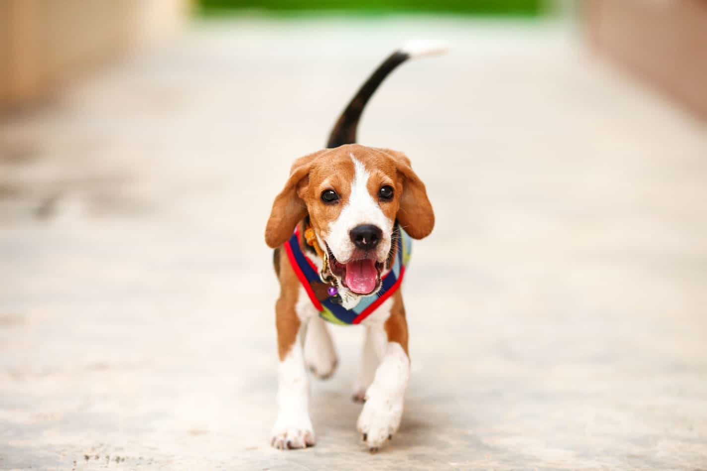 Beagle Temperament: What's it Like Owning One?
