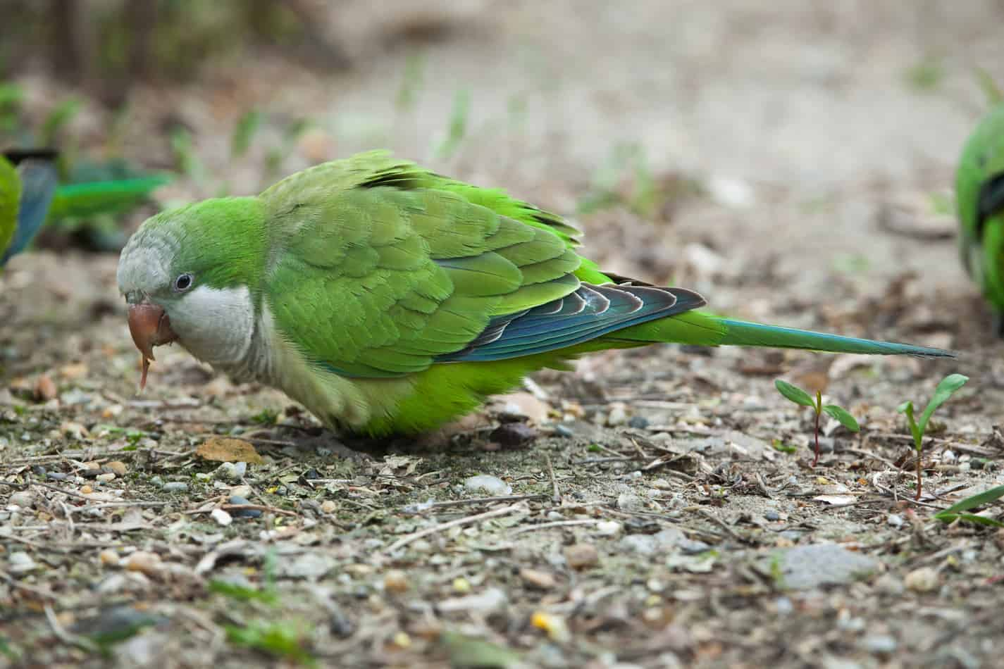 Quaker Parakeets: Everything You Need to Know Before Getting One