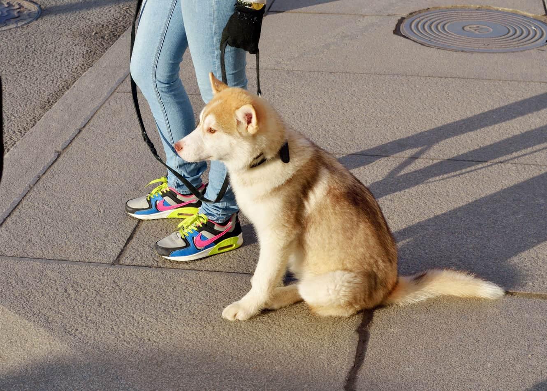Are Huskies Good Service Dogs?