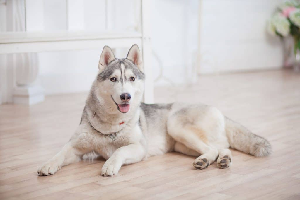 Can Huskies Live In Apartments A Complete Guide