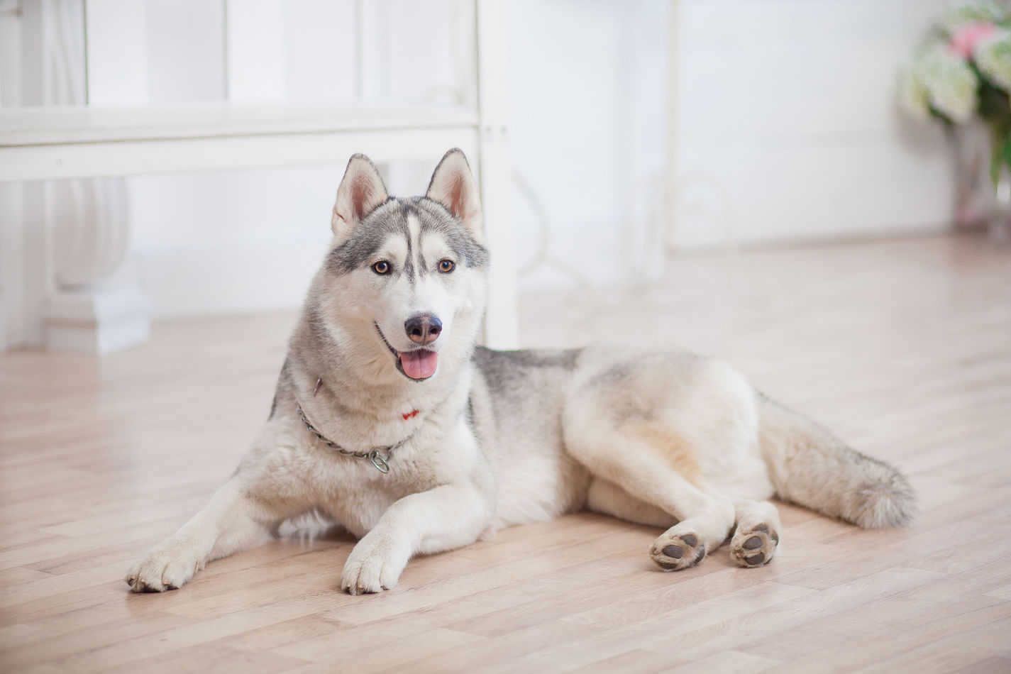 Can Huskies Live in Apartments? A Complete Guide