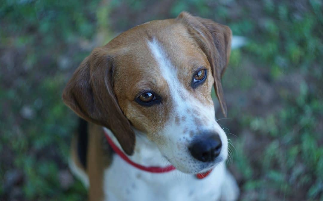 Choosing a Beagle Mix Breed: Which is Best for Your Home?