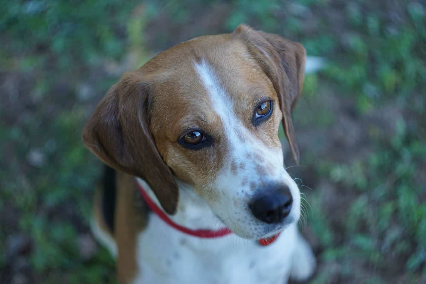 Choosing A Beagle Mix Breed Which Is Best For Your Home Embora Pets