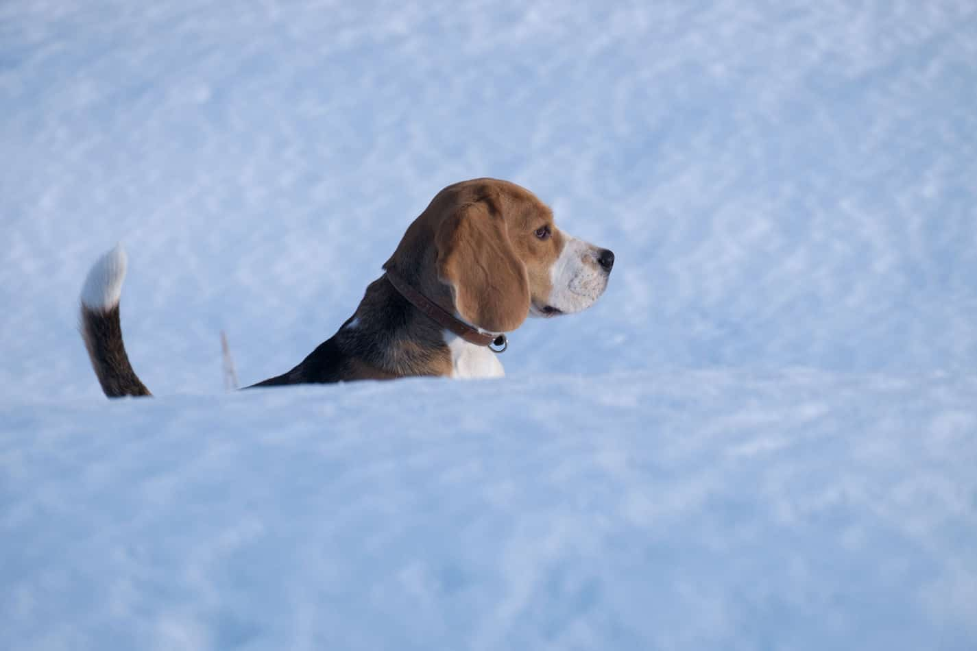 Can Beagles Stay Outside in the Cold?