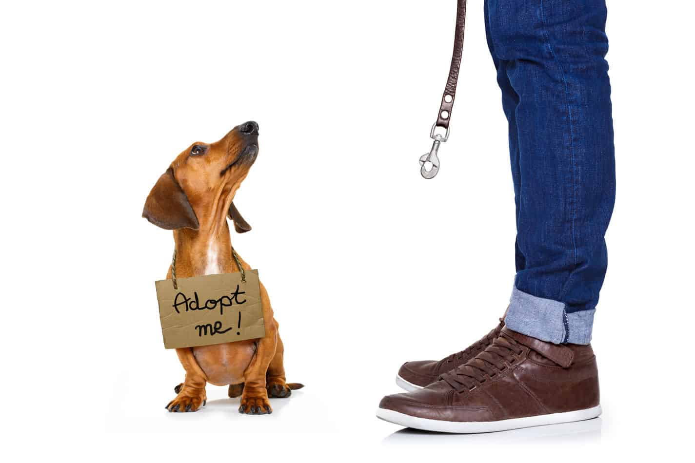 Dachshund Rescue Guide: How to Find One and What it Will Be Like