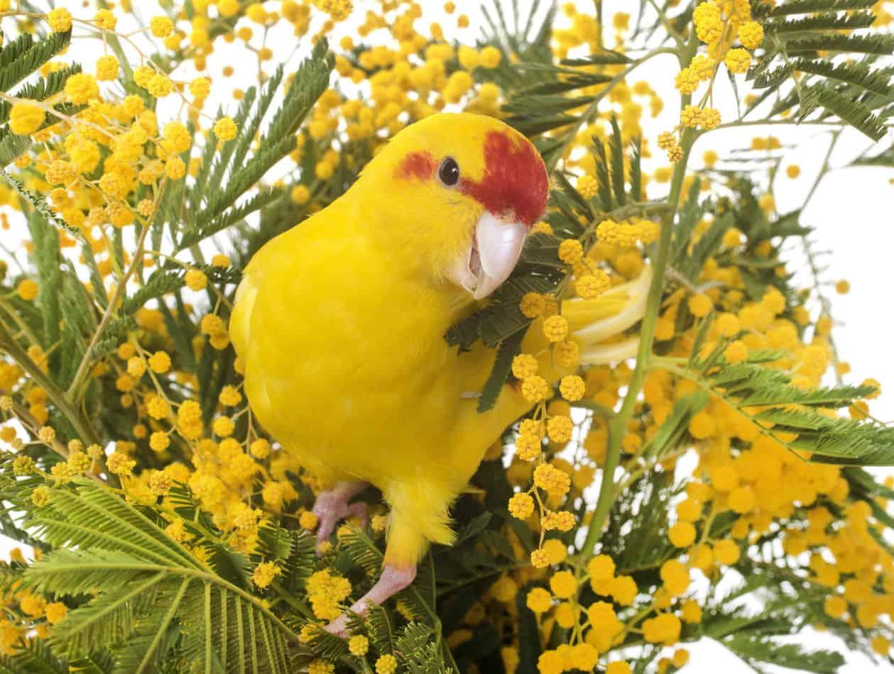 Can Parakeets Talk At All?