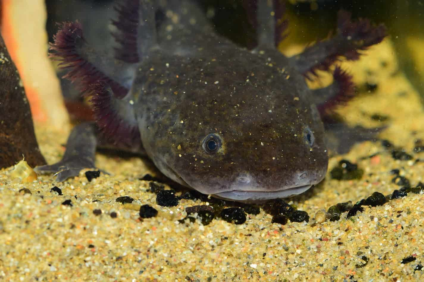 Blue Axolotl: A Beginner's Guide With Pics, Cost to Buy, and Care Info