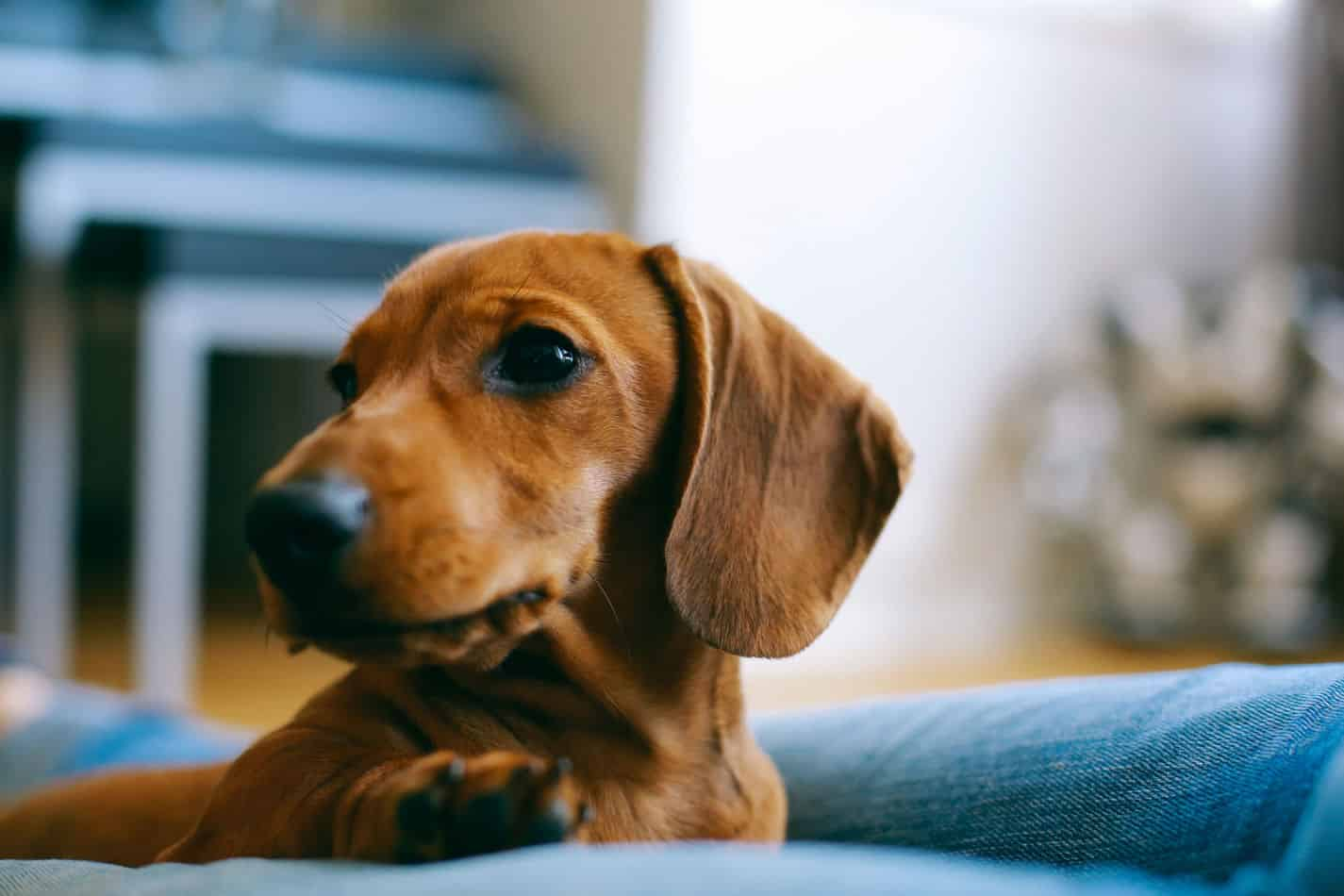 Can Dachshunds Live in Apartments? A Complete Guide