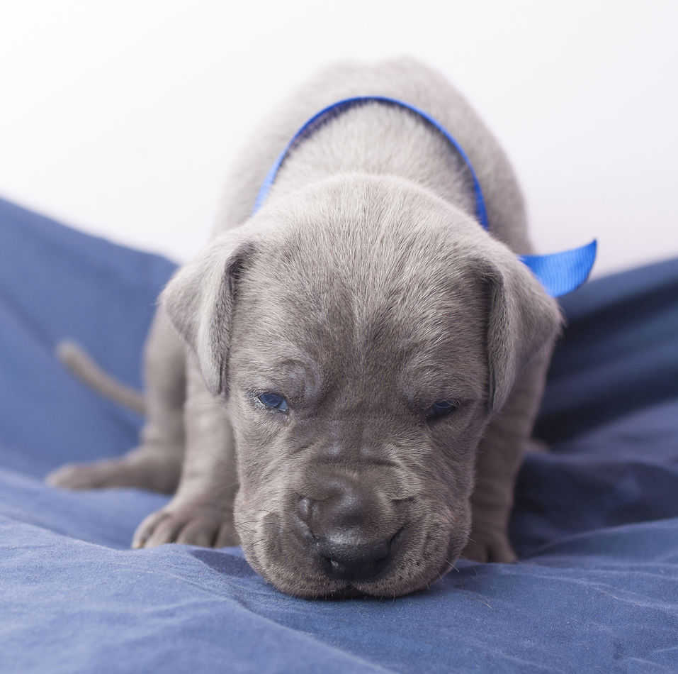Can Great Danes Live in Apartments? A Complete Guide