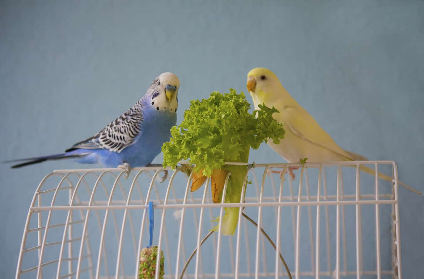 Can Parakeets Eat Strawberries?