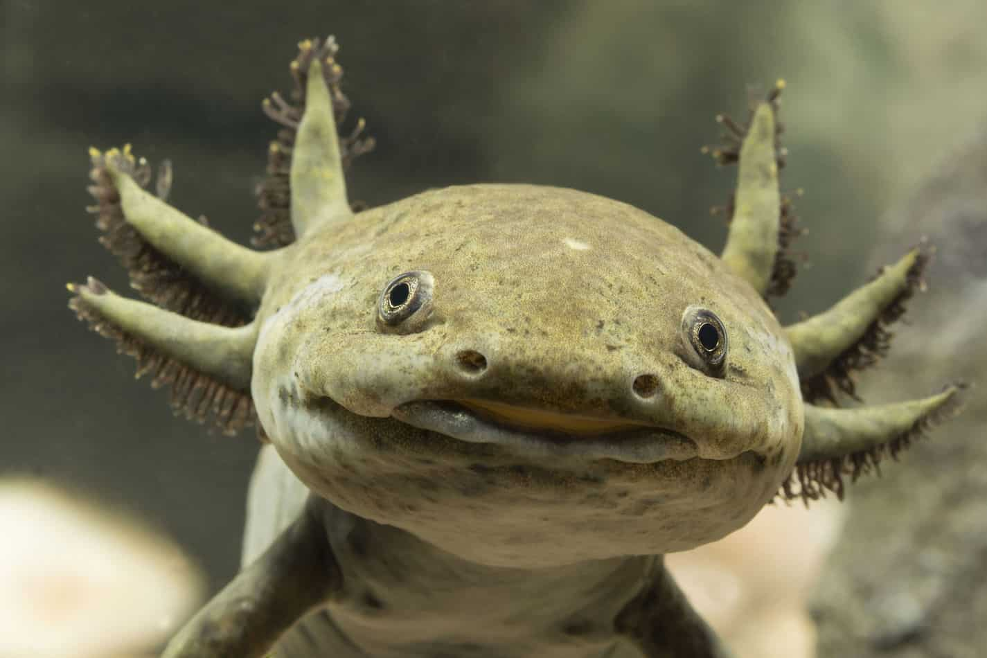 Mudkip and Wooper Pokemon Are Based on the Axolotl