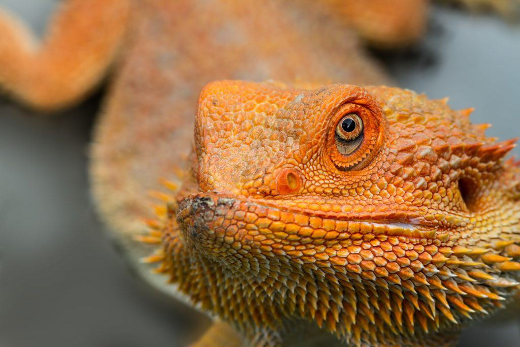Bearded Dragons as Pets: Dangers, Cost to Buy One, and Ease
