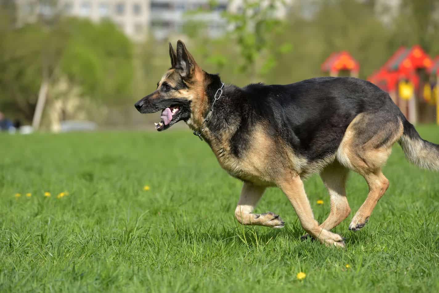 Can German Shepherds Run Long Distances?