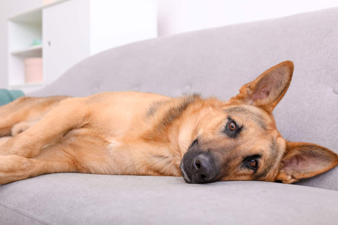 Can German Shepherds Live in Apartments? A Complete Guide