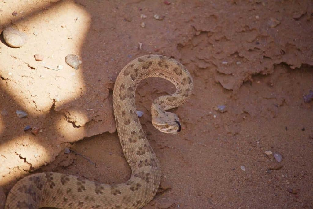 Semi Coiled Rattle Snake Alert on Sand, Tongue Out