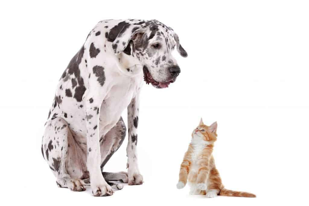 Do Great Danes Get Along With Cats?