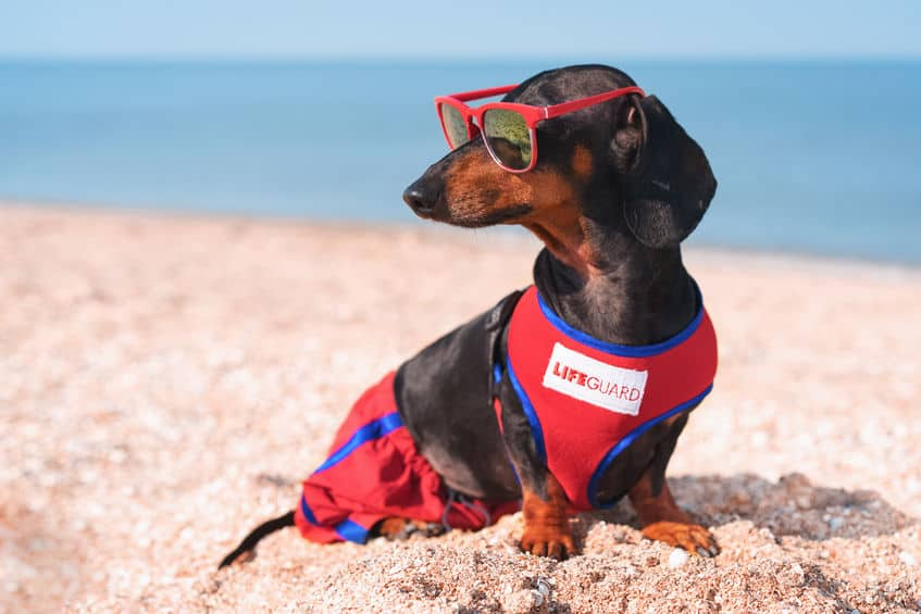 Can Dachshunds Stay Outside in the Heat? (A True HOT Dog?)