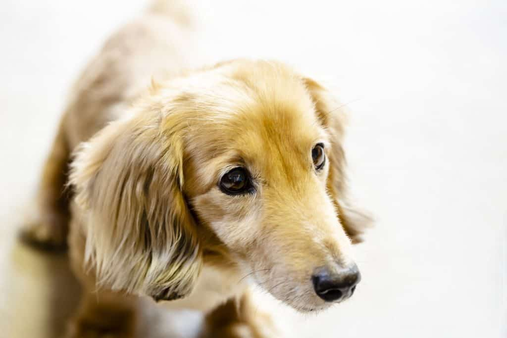 Dachshund Retriever Mix A Complete Guide Embora Pets