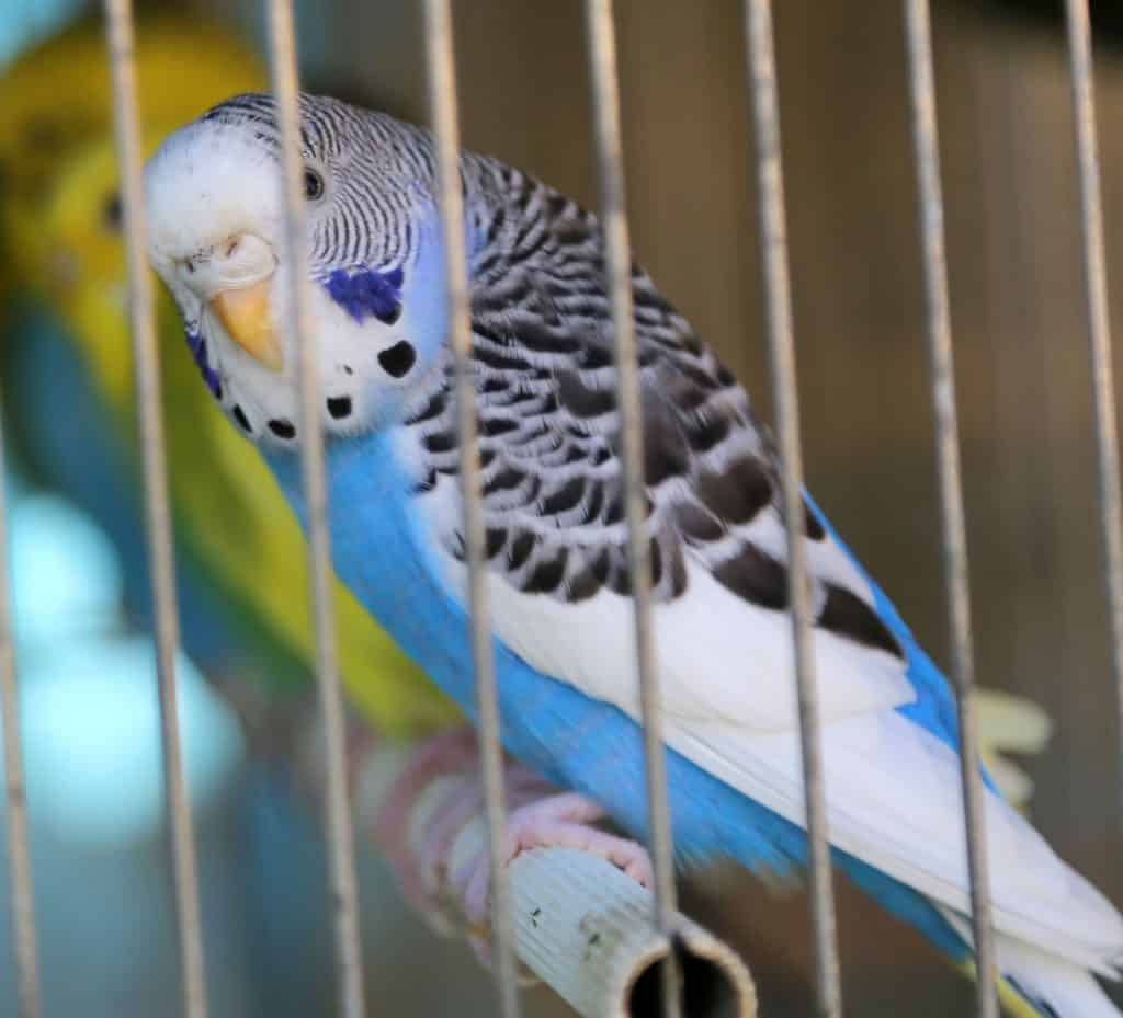 Petco Parakeets: 9 Things to Know Before You Buy – Embora Pets