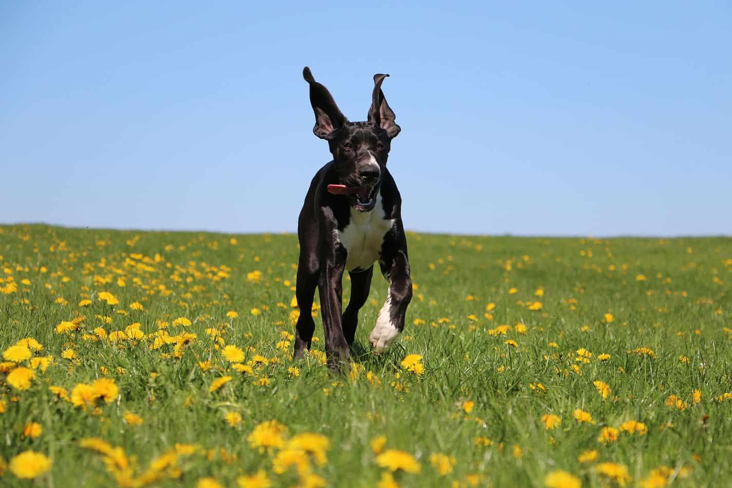 Great Danes, Can They Run Long Distances?