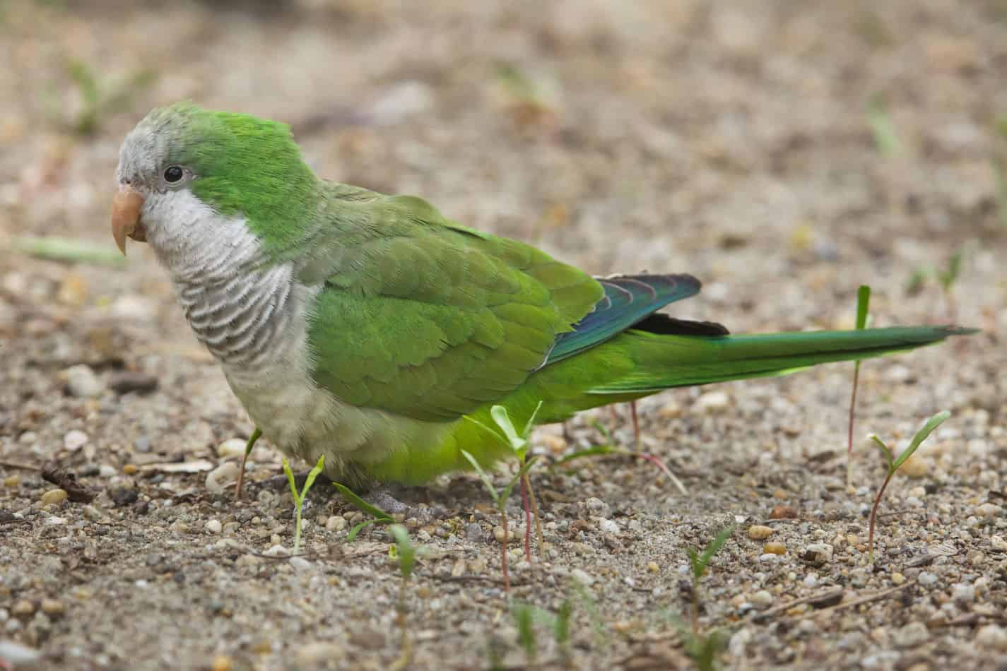Monk Parakeets as Pets: Pictures, Cost to Buy, and Temperament Info
