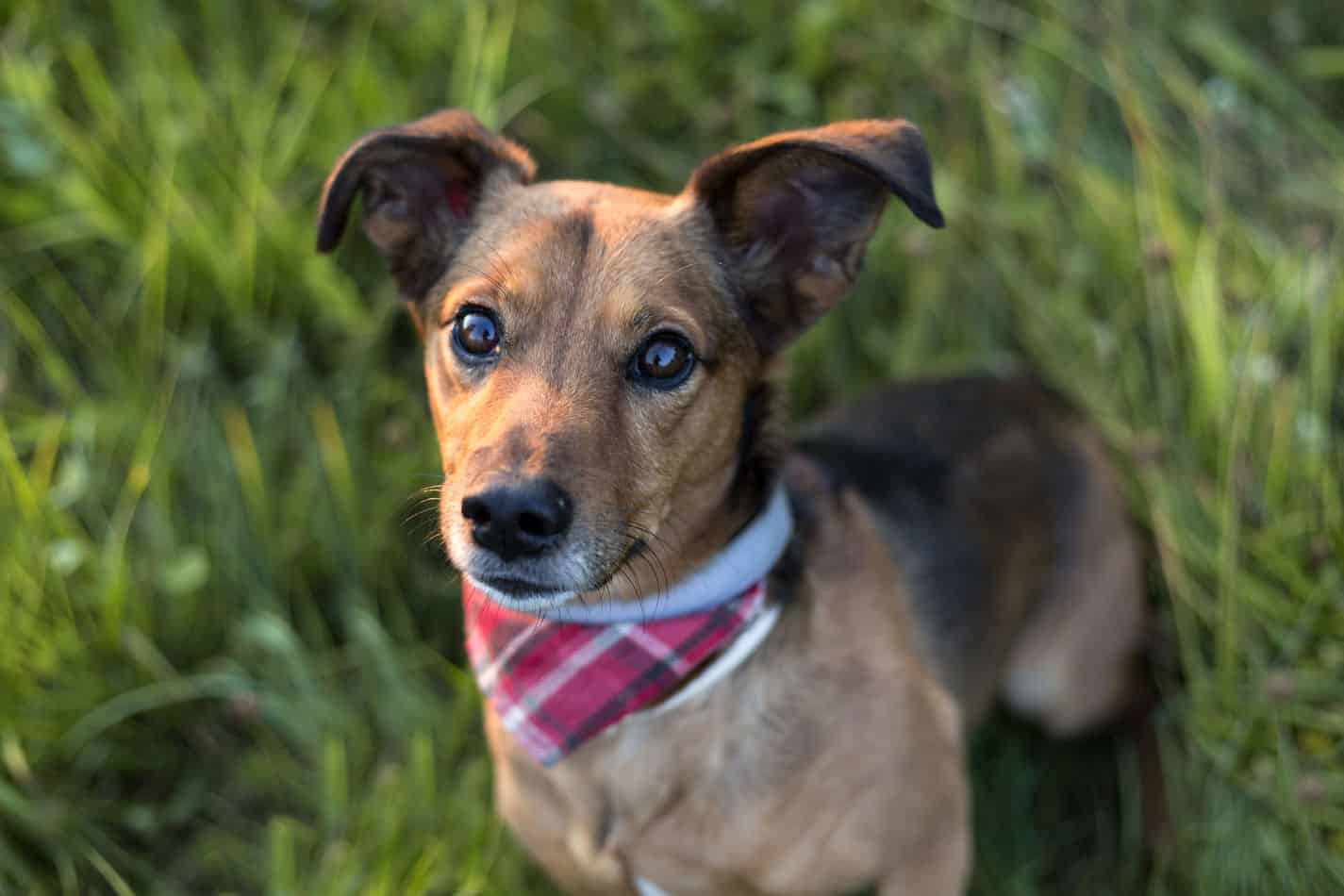 Choosing a Dachshund Mix Breed: Which is Best For Your Home?