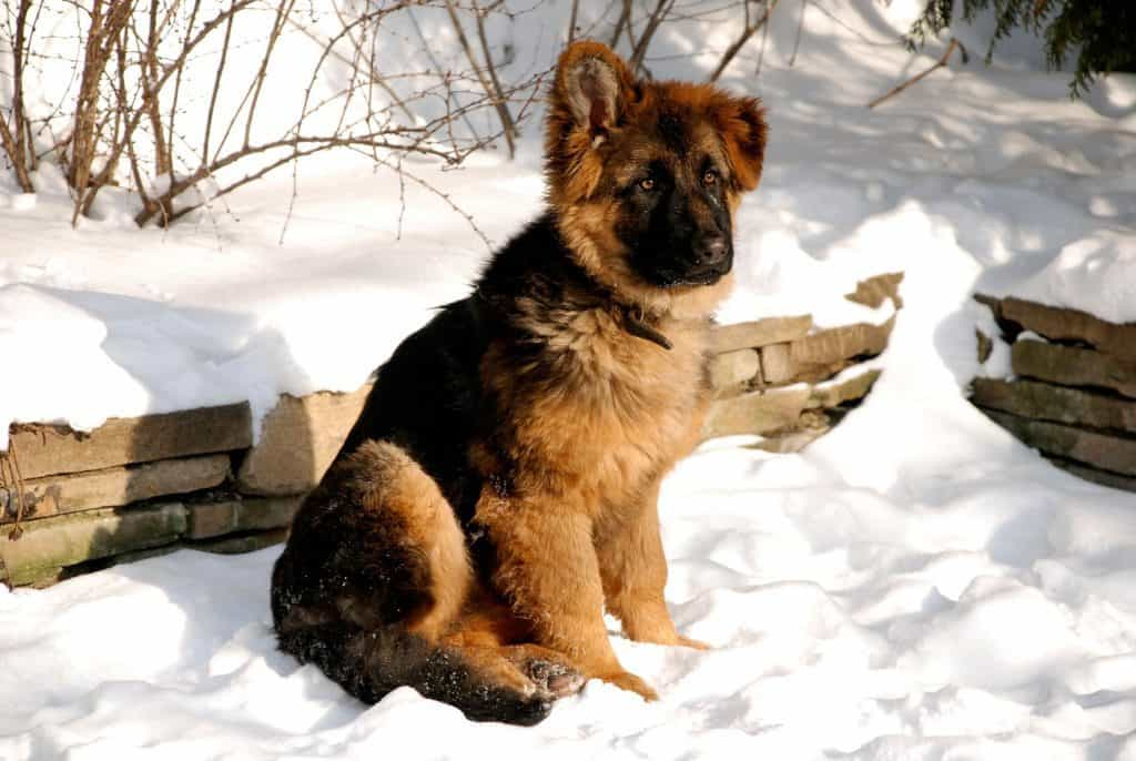 Can German Shepherds Stay Outside In The Cold