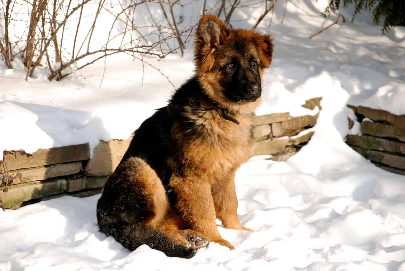 Can German Shepherds Stay Outside In The Cold?