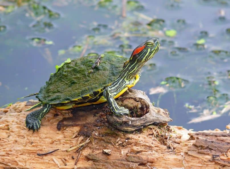 Red-Eared Sliders as Pets: Ease of Care, Legality, and Life Expectancy