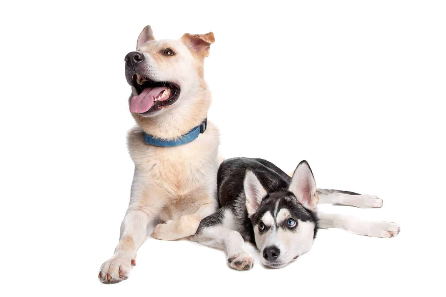 Are Husky Lab Mixes Good Dogs? A Complete Guide With Pictures