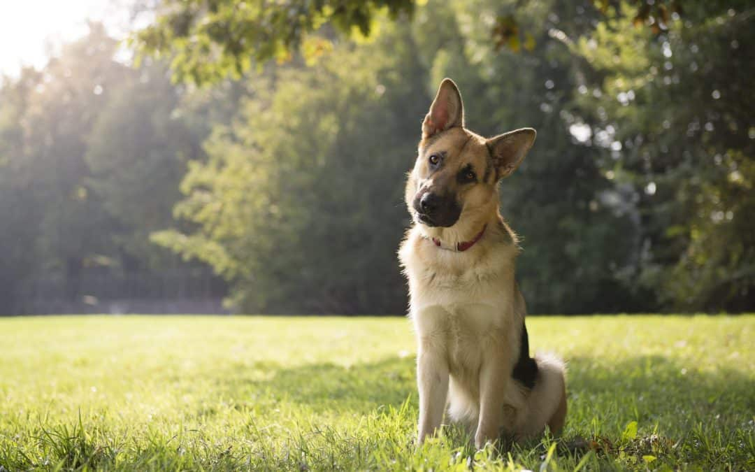 How to Find a German Shepherd to Buy