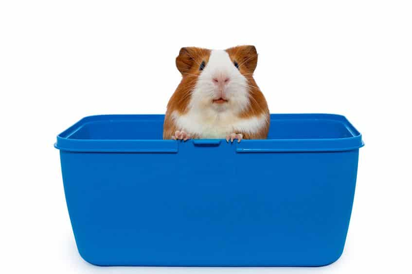 Guinea Pigs as Pets: 17 Things to Know Before Getting One