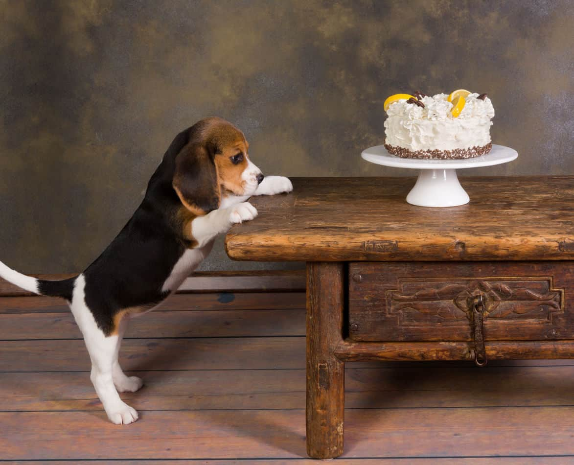 The Ultimate Guide To What Beagles Can And Can T Eat Embora Pets
