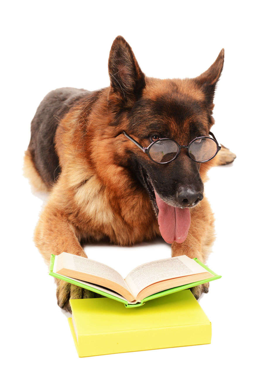 German Shepherd Intelligence: How Smart Can You Expect Them to Be?