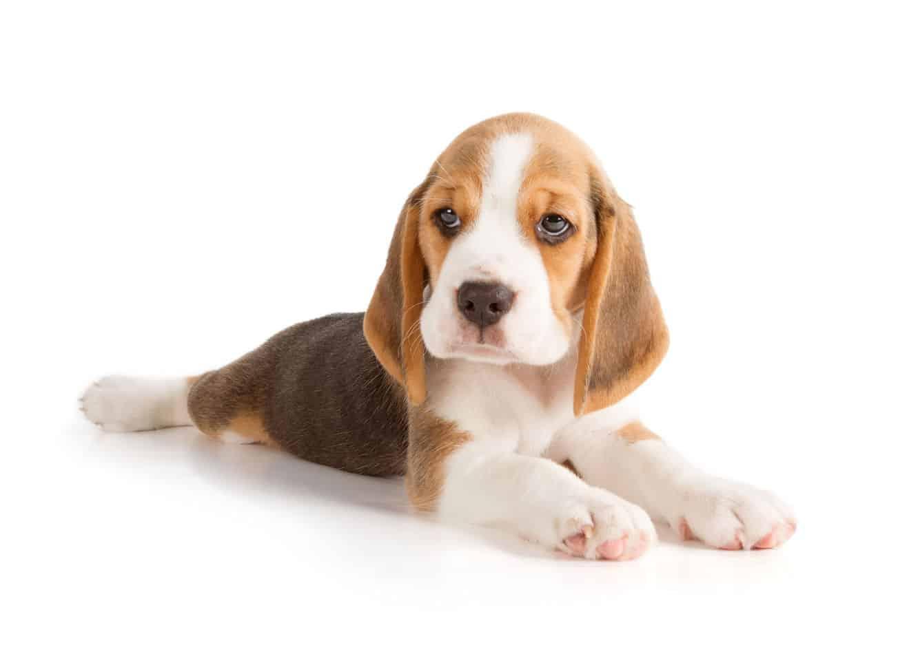 Why Do Beagles Cry?