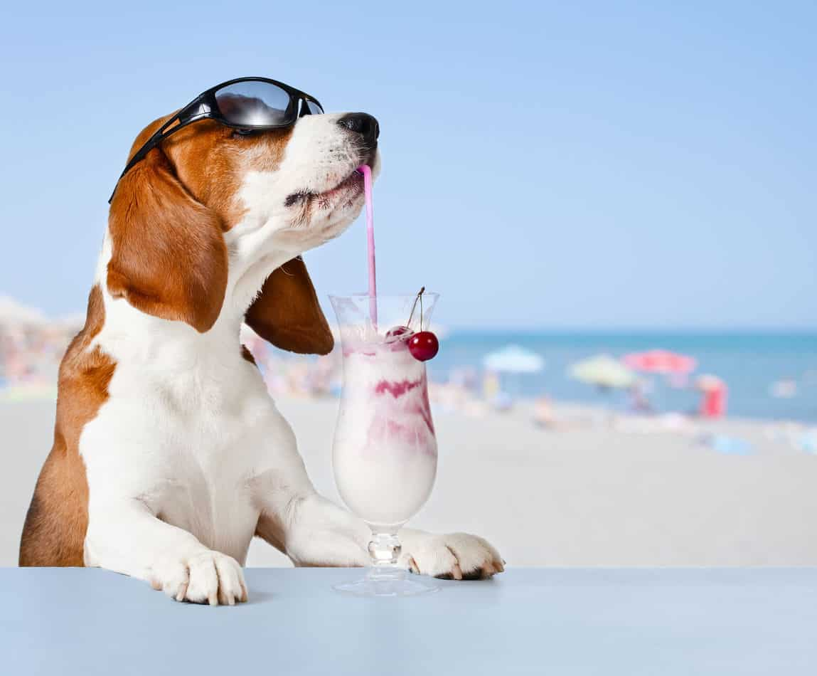 Can Beagles Stay Outside in the Heat?