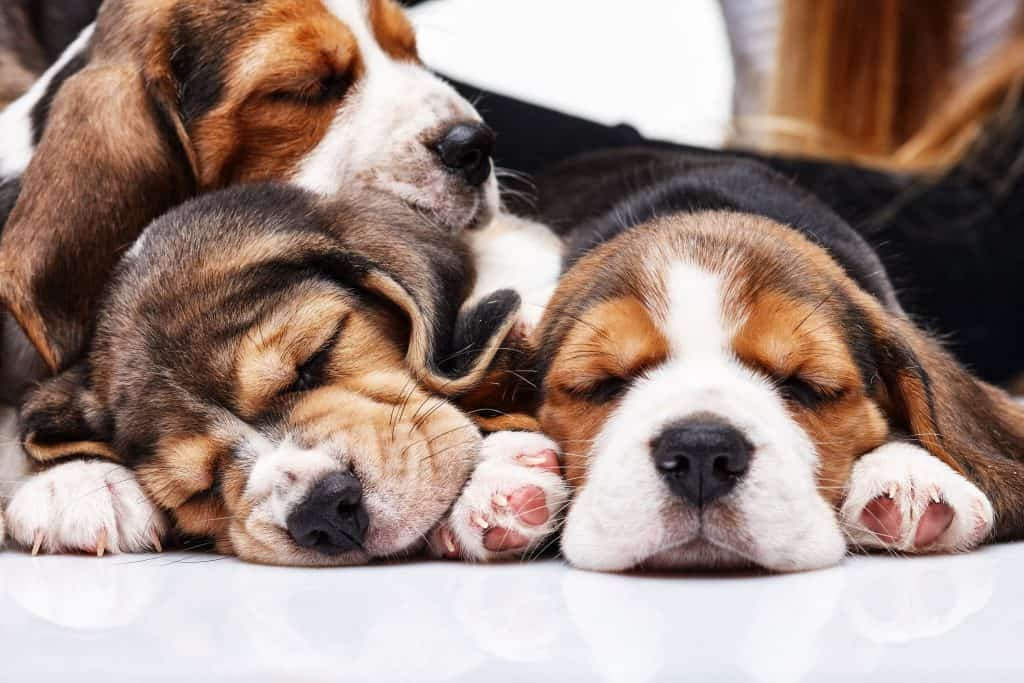 What is the temperament of a Beagle?