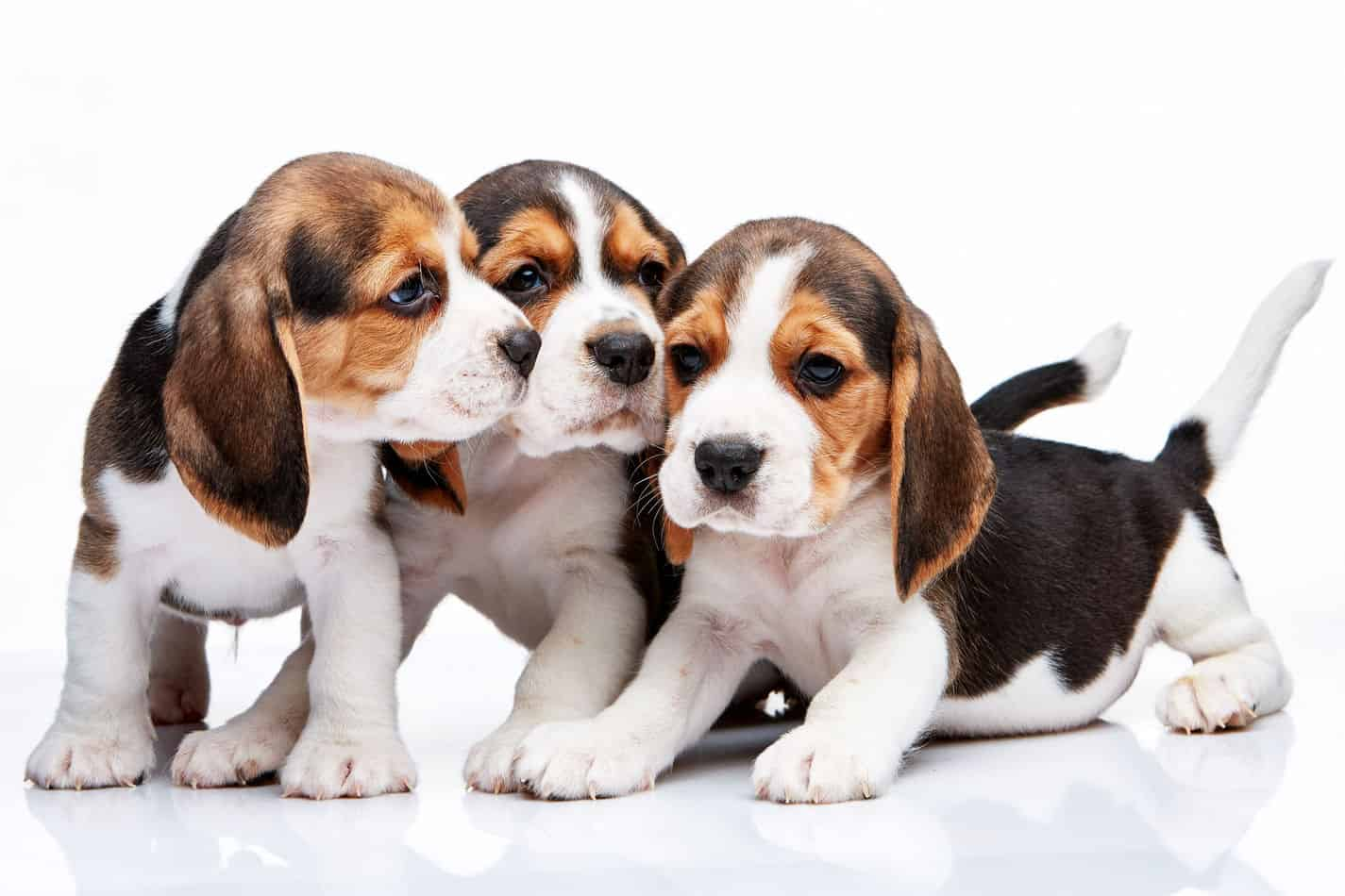 Mini Beagles: Everything You Could Want to Know