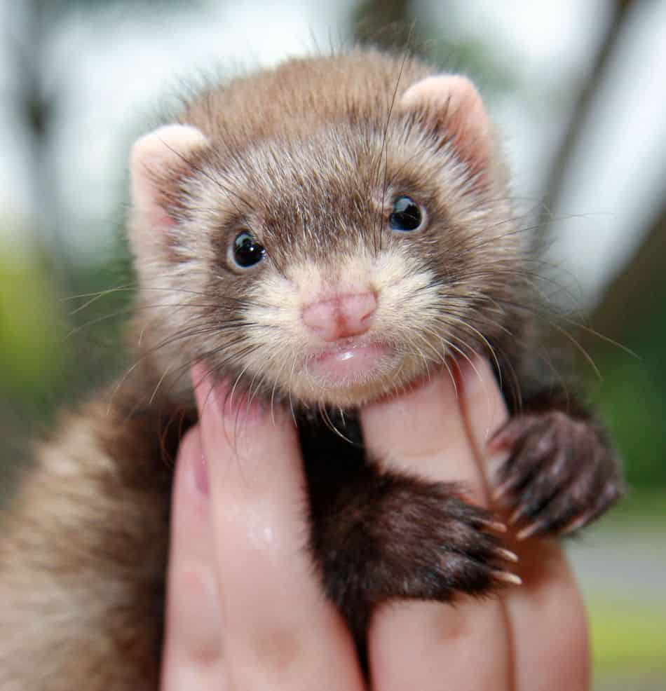 Ferrets as Pets: Cost to Buy, Their Aggressiveness, and Life Expectancy
