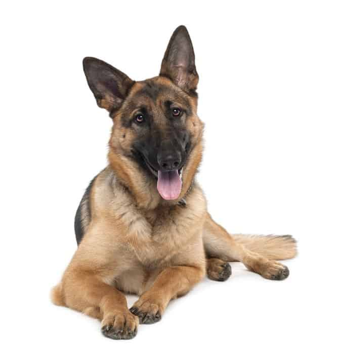 German Shepherds as Pets: Cost, Life Expectancy, and Temperament